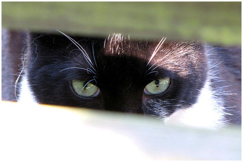 Cat peeking through fence