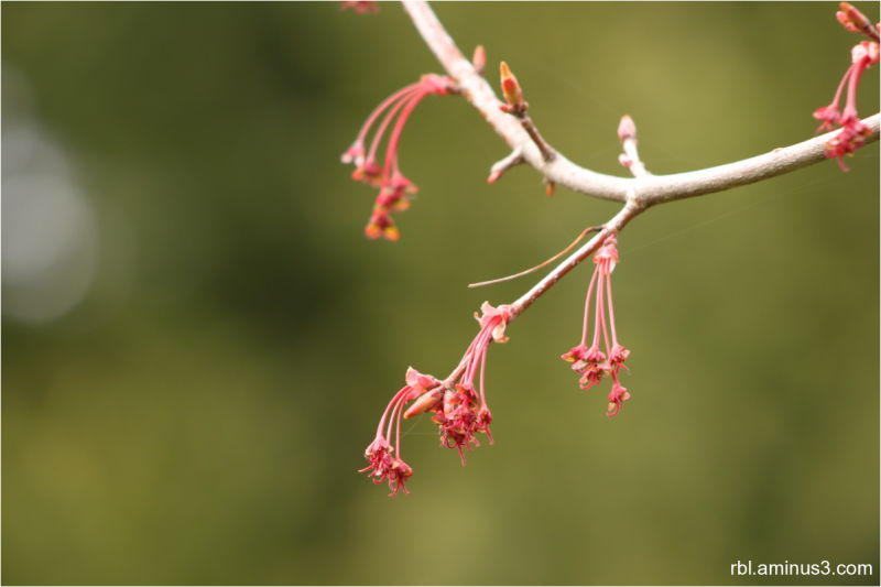 Budding Red Sunset Maple Tree
