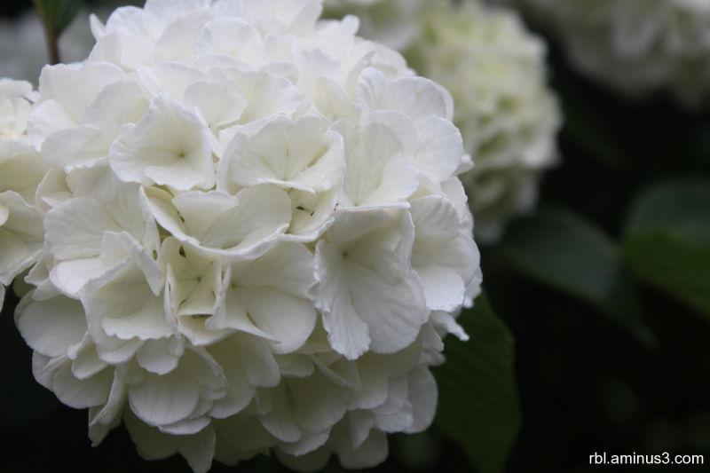 snowball vibernum bloom