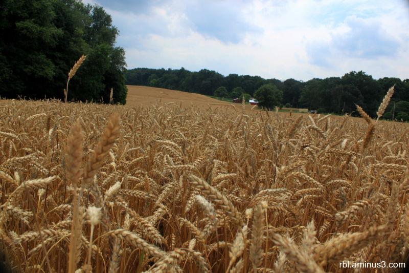 timothy grass field