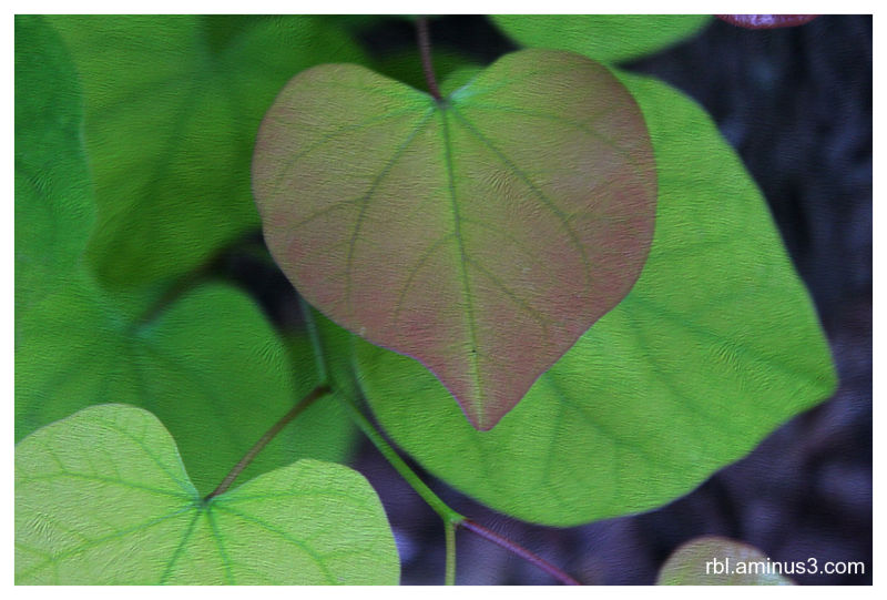 Red Bud Leaf with Texture