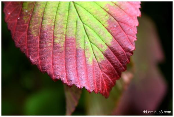 Shasta Vibernum Fall Leaf