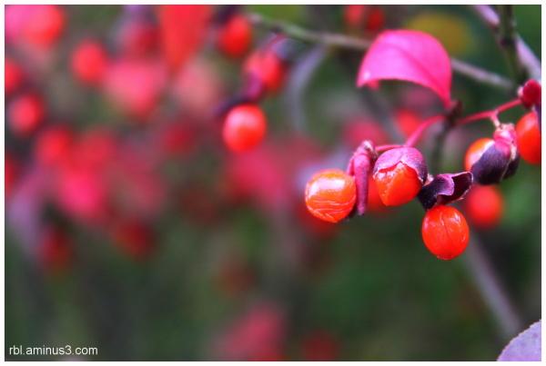 Burning Bush Berries