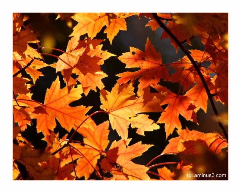 sunlit sugar maple leaves