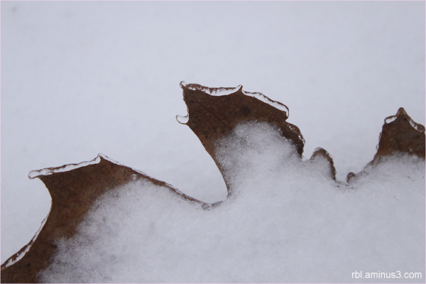 iced oak leaf
