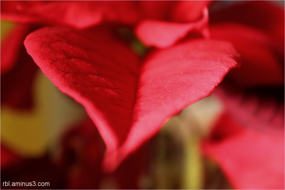 heart poinsettia