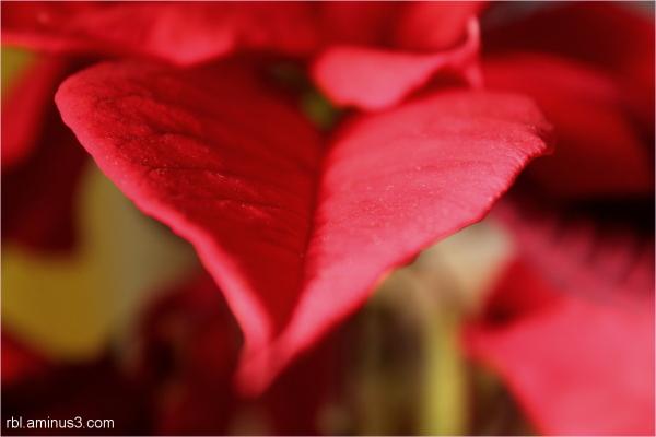 heart poinsettia