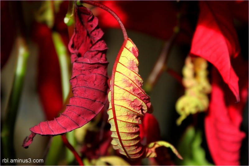 wilted poinsettia