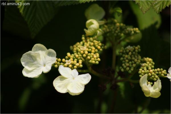 shasta vibernum bloom
