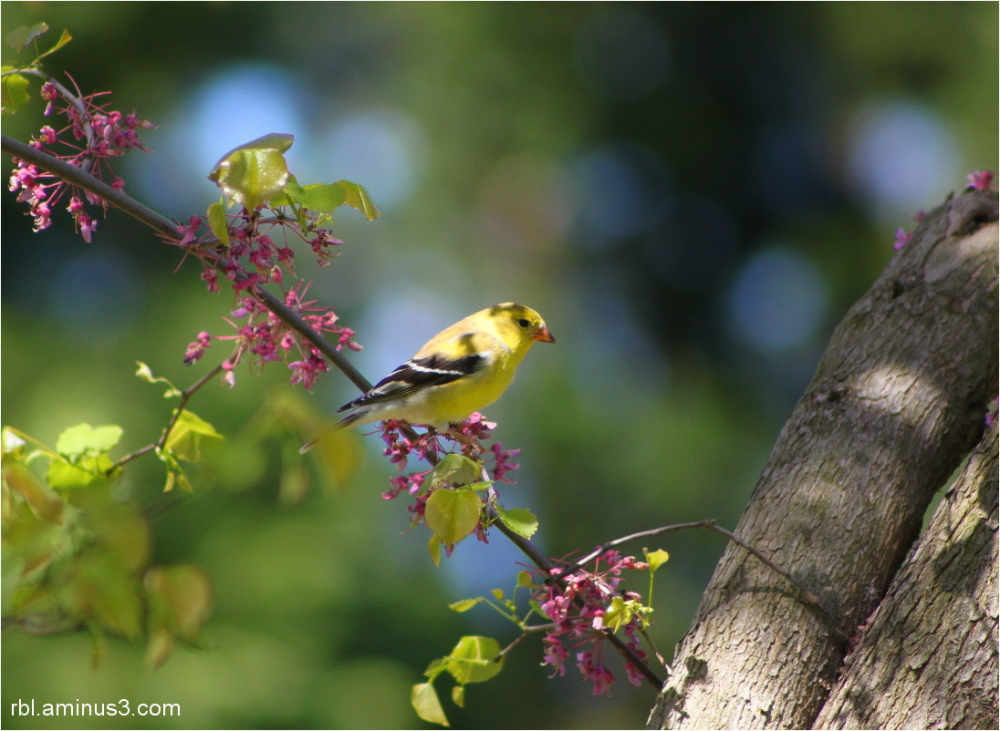 yellow & black Finch