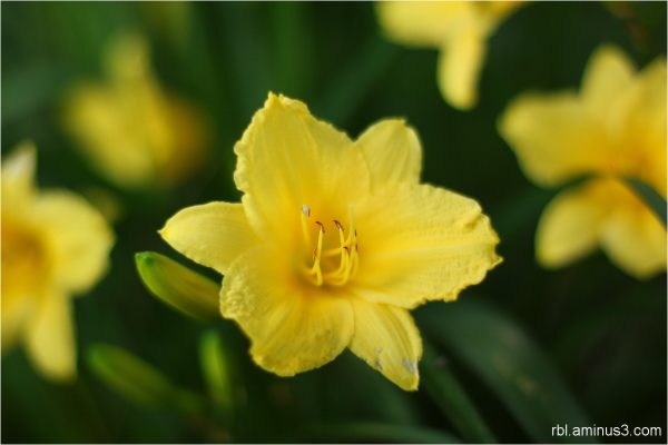 day lily bloom
