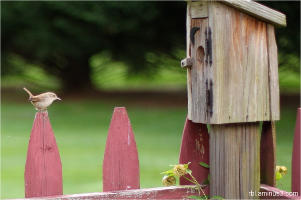 House Wren and Birdhouse