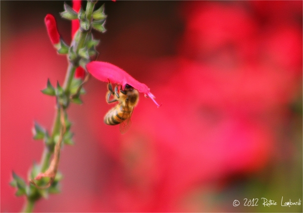 Bee and Pineapple Sage