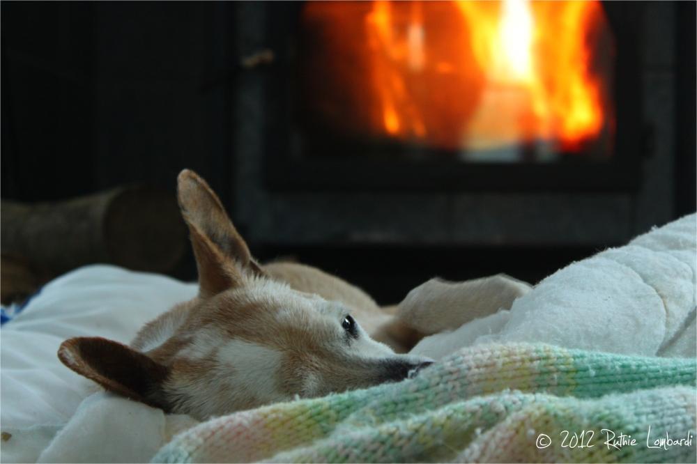 chihuahua sleeping by wood stove