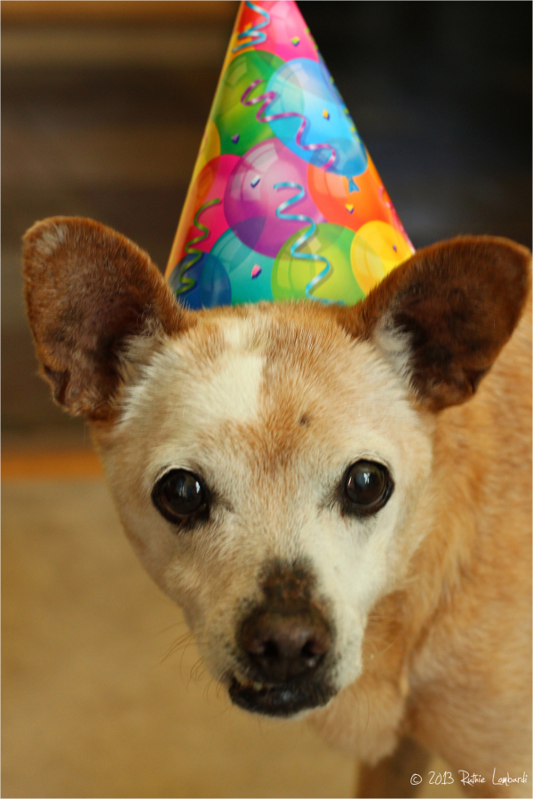 Buddy our chihuahua is 16