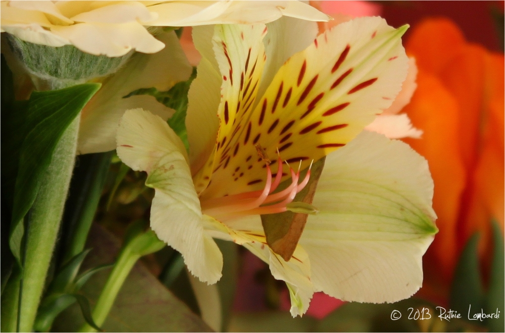 old fashioned tiger lily