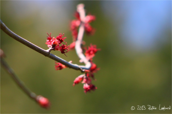 red sunset maple buds