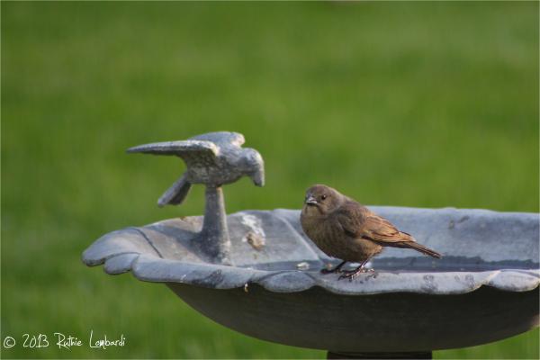 brown bird on bird bath