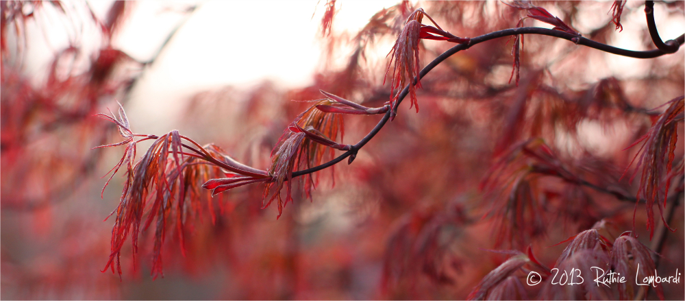 japanese crimson maple tree
