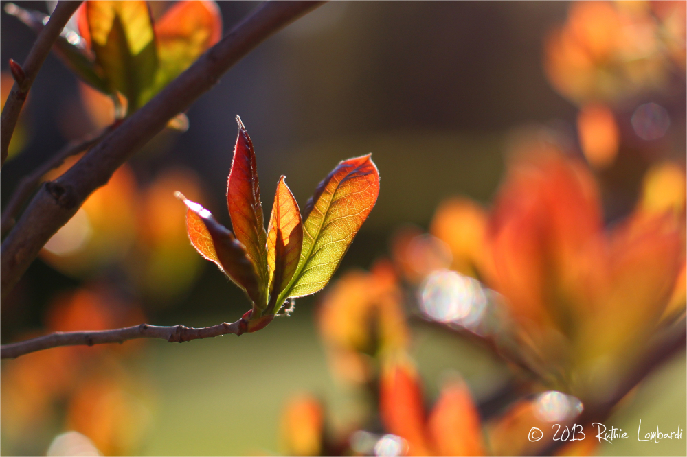black gum tree spring leaves
