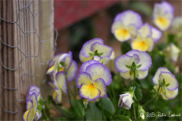 Violet Etain