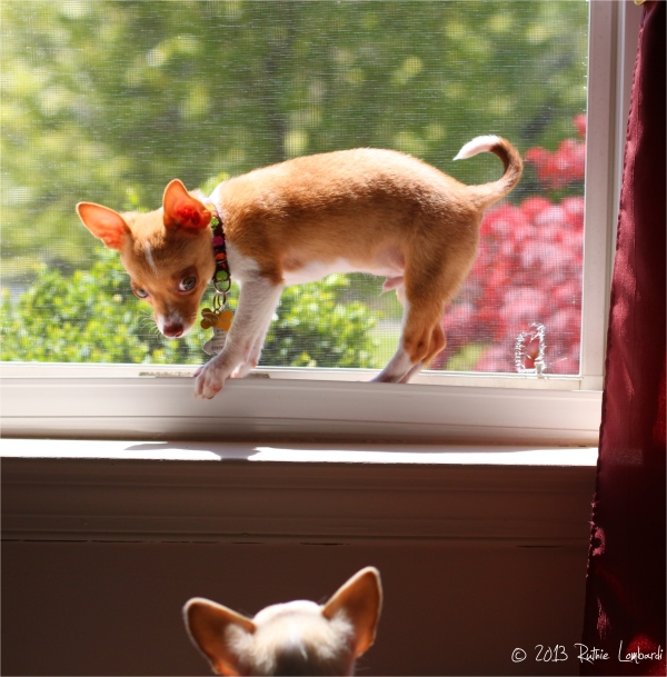 chihuahua on window