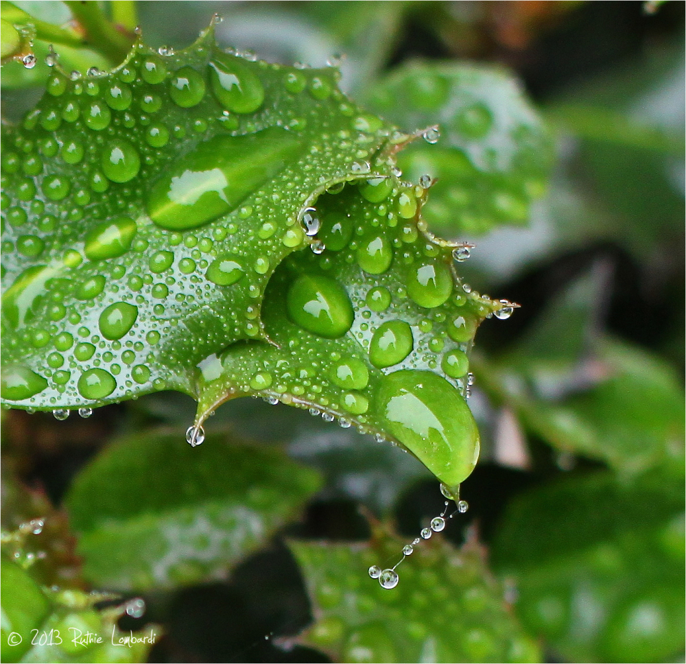 holly bush with water droplets