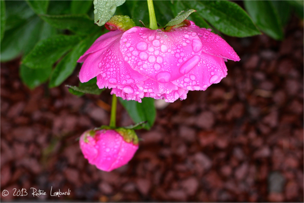 water droplets on peony