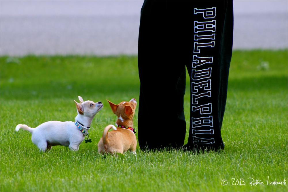 good behavior chihuahuas
