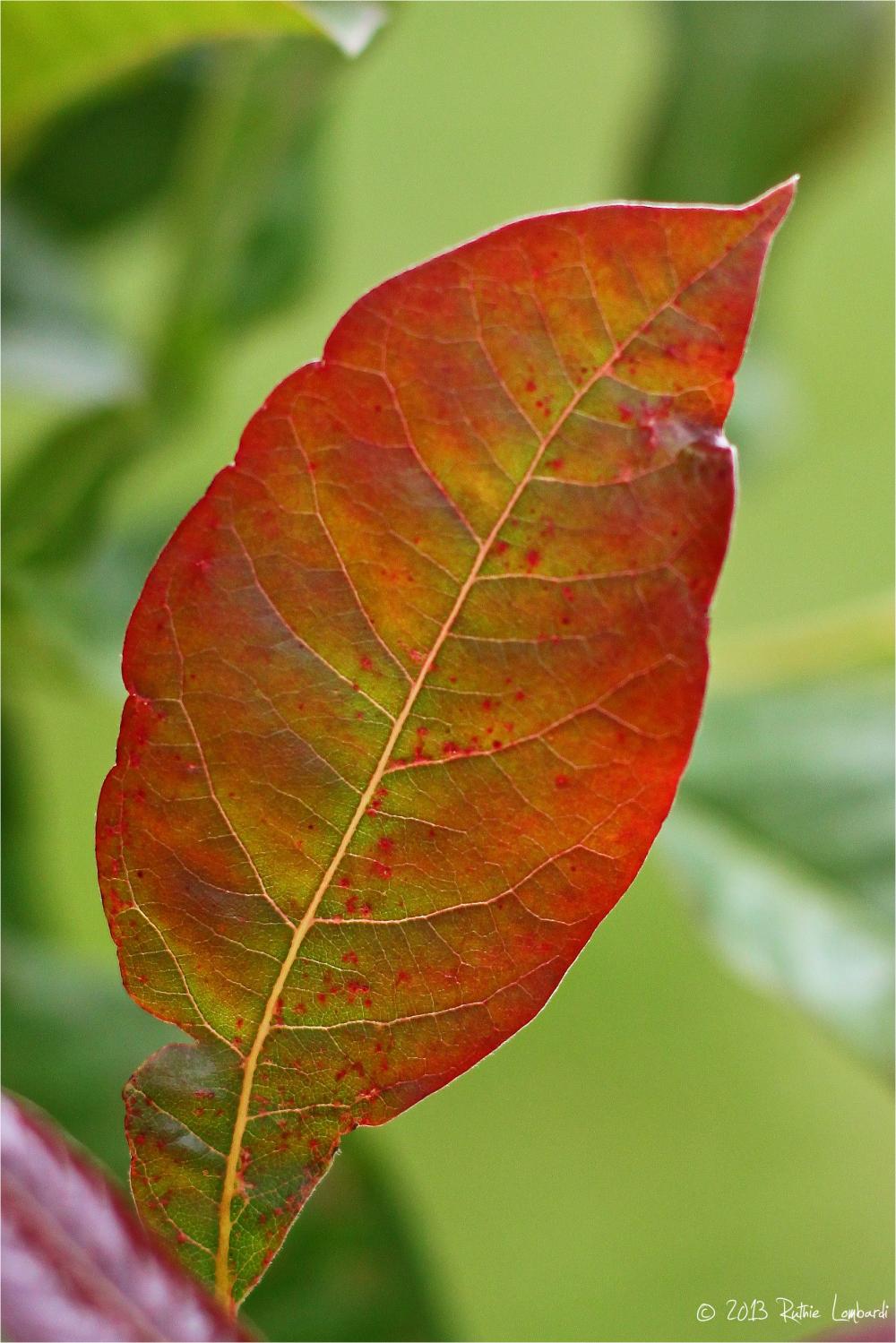 black gum tree leaf