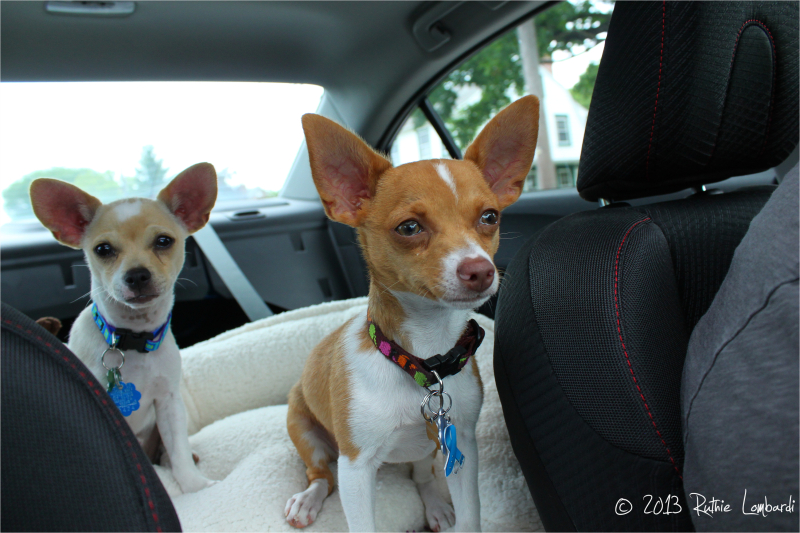 chihuahuas traveling in a car