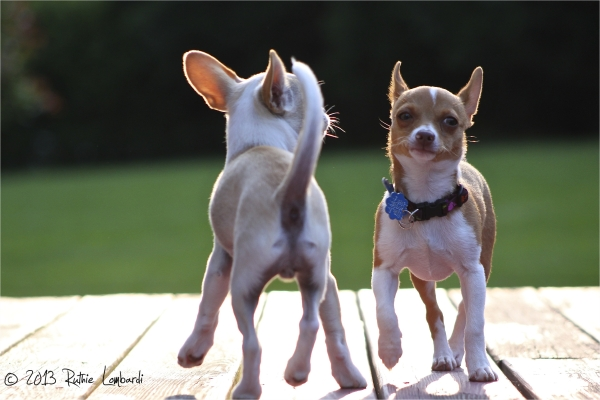 chihuahuas walking side by side