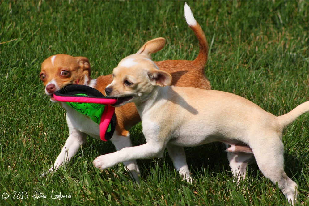 chihuahuas caught frisbee