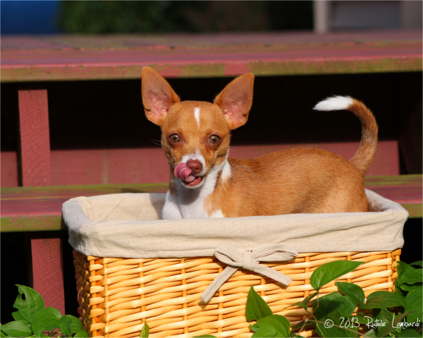 chihuahua in a basket
