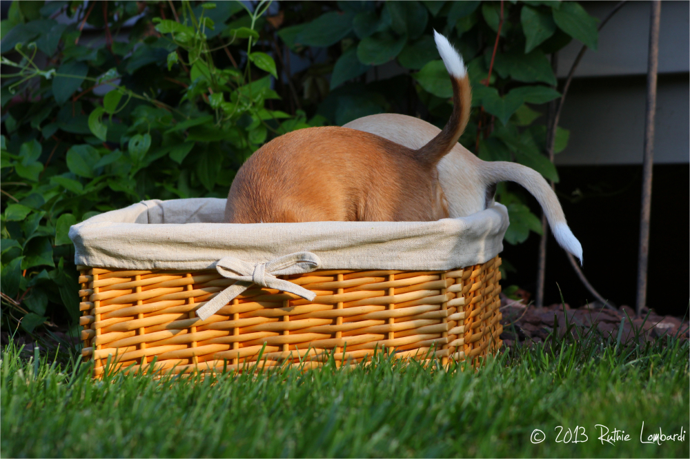 2 chihuahuas in a basket