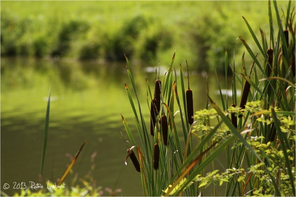 cat tails at nottingham park
