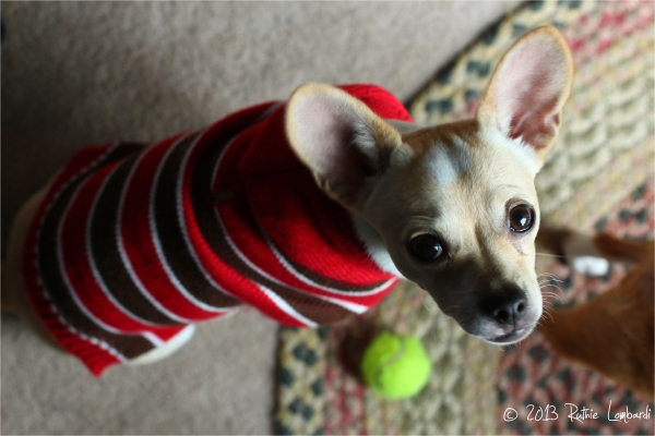 chihuahua in sweater with small tennis ball