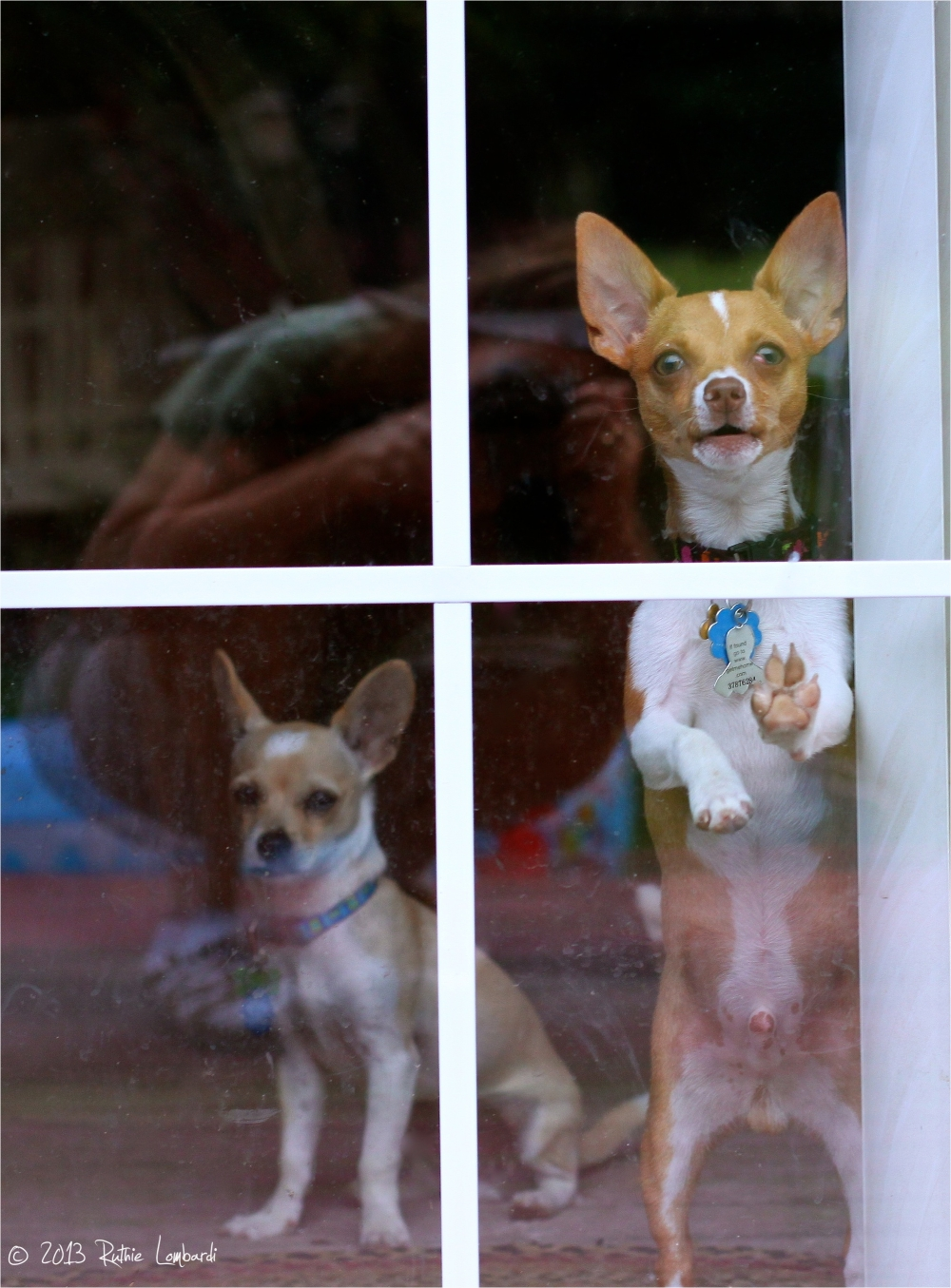chihuahuas at the door