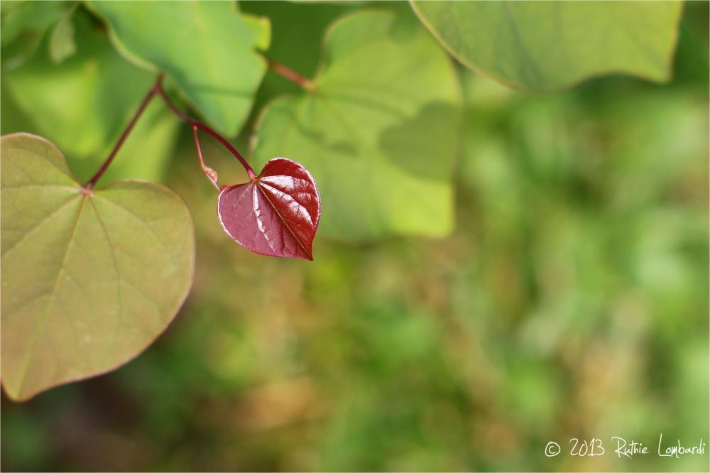 red bud leaf