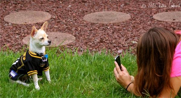 Chihuahua getting photo taken