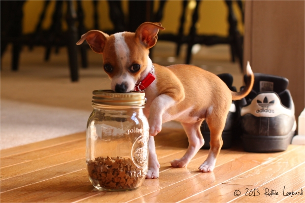 chihuahua puppy with treats