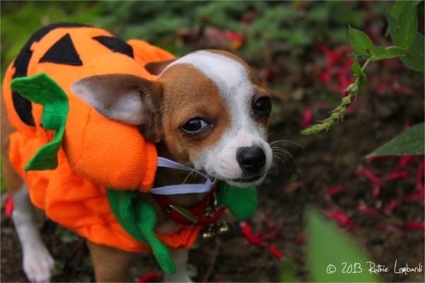 chihuahua in pumpkin costume