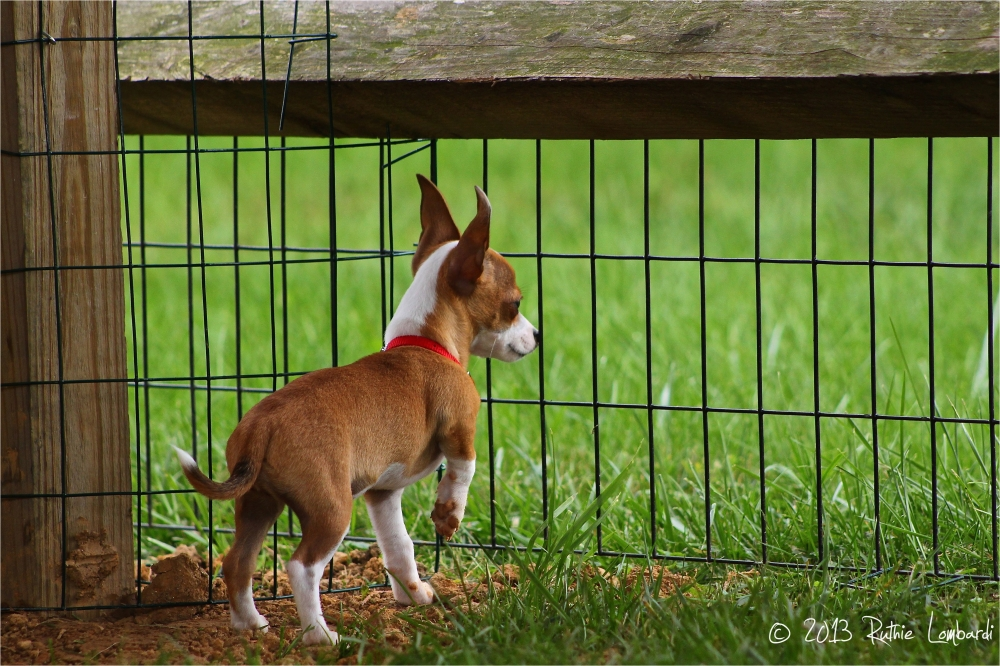 chihuahua at fence