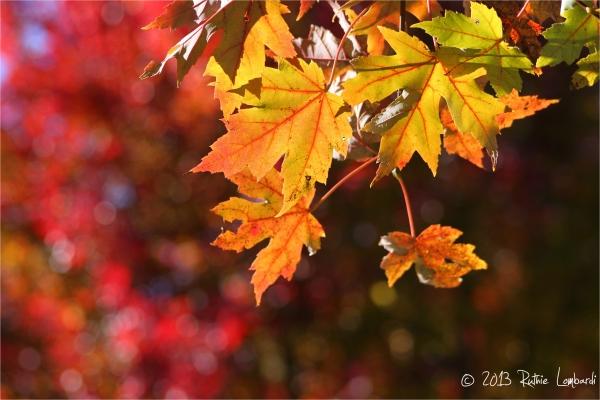autumn blaze leaves