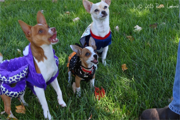 chihuahuas in halloween costumes