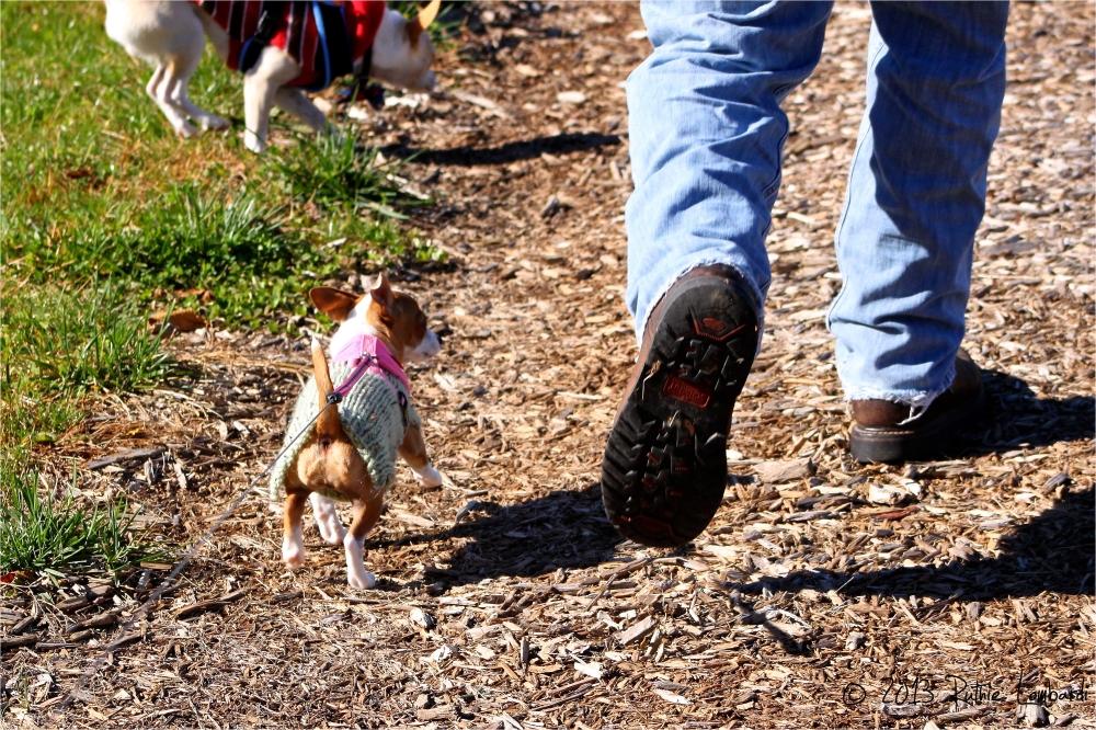 chihuahua walking to keep up