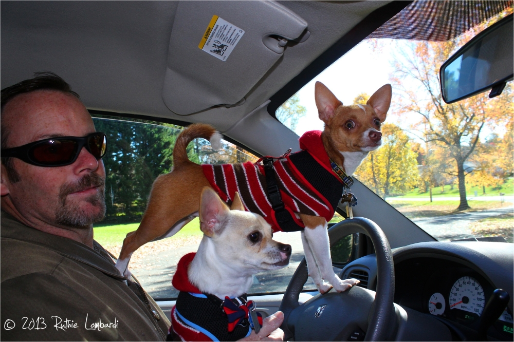chihuahuas in the driver's seat