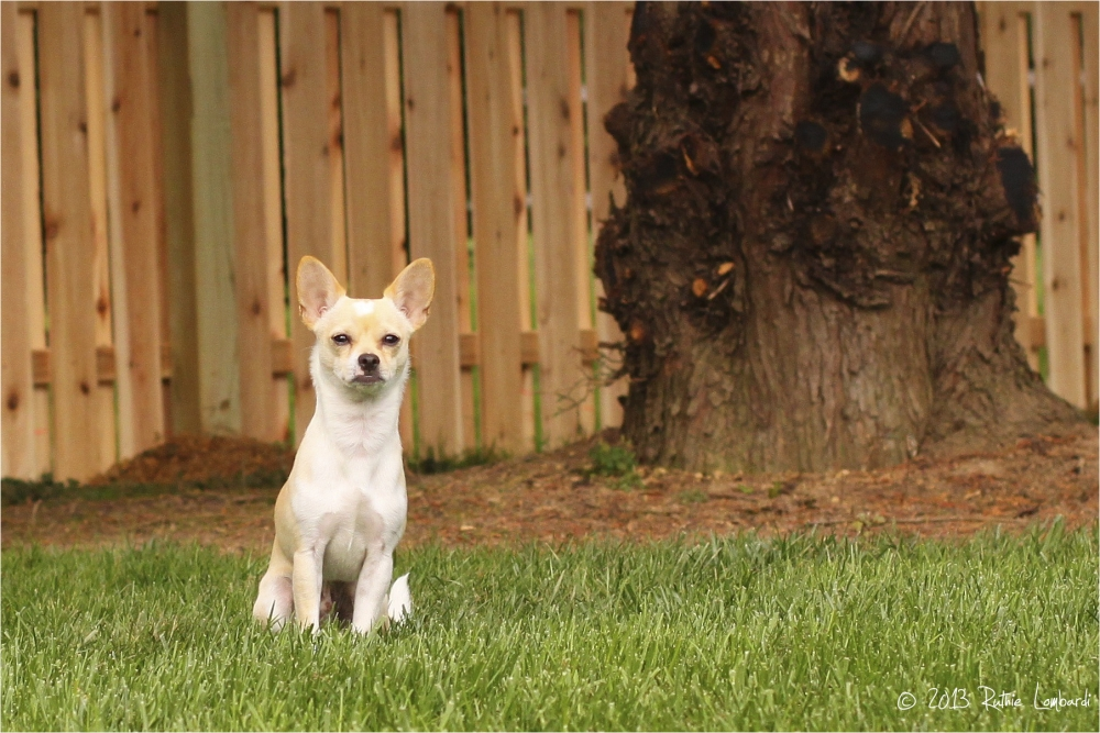 white chihuahua in back yard