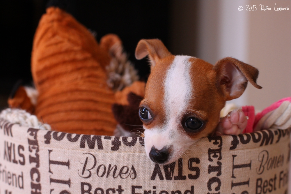 chihuahua puppy in toy box