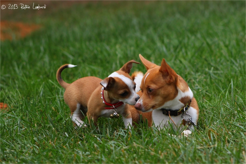 smack of love between chihuahuas